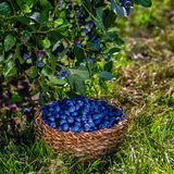 Branches of blueberries with berries and blueberries in the basket, harvesting royalty free stock photos