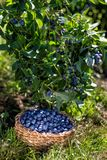 Branches of blueberries with berries and blueberries in the basket, harvesting royalty free stock photography