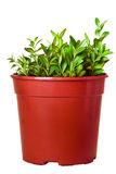 Branches of boxwood in a pot isolated Royalty Free Stock Photos