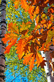 Branches with bright autumn oak leaves Royalty Free Stock Photo