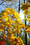 Branches of bright autumn trees and sunlight Stock Images