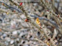 Branches brunes sèches avec des piquants images libres de droits