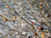 Branches brunes sèches avec des piquants images stock