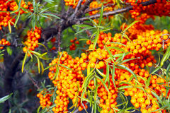 The branches of buckthorn close-up. The branches of bright buckthorn close-up stock photo