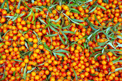 The branches of buckthorn close-up. The branches of bright buckthorn close-up Royalty Free Stock Image