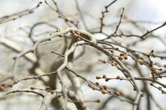Branches with buds. Sring background. Royalty Free Stock Photography