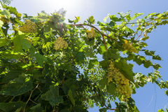 The branches and bunches of grapes Stock Photography