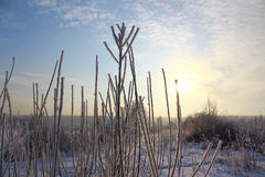 Branches of bushes in the frost Stock Photos