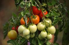 On the branches of the bushes ripen cherry tomatoes. The cherry tomato grains ripen on the bush with leaves Royalty Free Stock Image