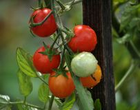 On the branches of the bushes ripen cherry tomatoes. The cherry tomato grains ripen on the bush with leaves Stock Image