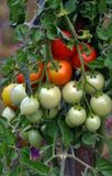 On the branches of the bushes ripen cherry tomatoes. The cherry tomato grains ripen on the bush with leaves Stock Photo