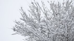 Branches of bushes in snow in the winter in cloudy snow weather. Blurred christmas background. Trees in the snow. Winter. Branches of bushes in snow in winter in stock video