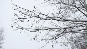 Branches of bushes in snow in the winter in cloudy snow weather. Blurred christmas background. Trees in the snow. Winter. Branches of bushes in snow in winter in stock footage