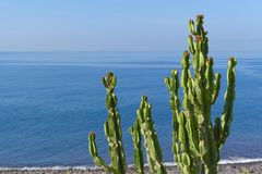 Cactus plant on the coastline against blue water and sky. Branches of cactus plant on the coastline against blue water and sky. Portuguese island of Madeira stock photo
