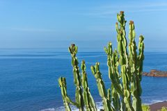 Branches of cactus plant on the coastline against blue water and sky. Portuguese island of Madeira royalty free stock photography