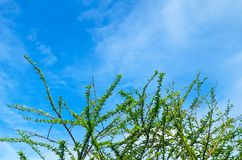 Branches of Calabash Tree Against on The Sky Royalty Free Stock Image