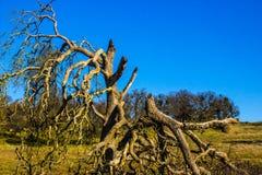Branches cassées tordues sur le chêne Photo libre de droits