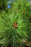 The branches of cedar Royalty Free Stock Photos