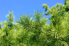 Branches of cedar Royalty Free Stock Photography