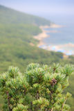 Branches of cedar on the background of the beach Royalty Free Stock Photography