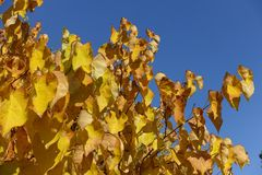 Branches of cercis canadensis against the sky in autumn. Branches of cercis canadensis against blue sky in autumn Royalty Free Stock Images