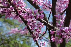 Branches of cercis canadensis with lots of flowers Royalty Free Stock Photo
