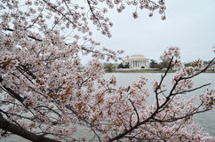 Branches of Cherry Blossom Clusters at Thomas Jefferson Memorial Royalty Free Stock Photo