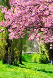 Branches with cherry blossom over the grassy lawn. Lovely nature springtime scenery in park Stock Image