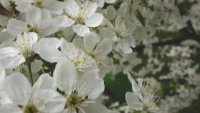 The branches of a cherry blossom, slow motion stock footage