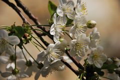 Branches with cherry blossom in the sun Stock Image