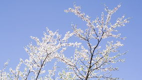 The branches of the cherry blossoms on background blue sky. stock footage