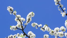 The branches of the cherry blossoms on background blue sky. stock video
