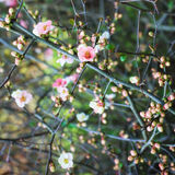 Branches of cherry blossoms Stock Photography