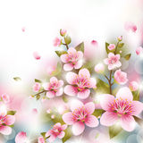 Branches of Cherry Blossoms Royalty Free Stock Photo