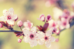 Branches of cherry blossoms Stock Images