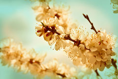 Branches of cherry blossoms Royalty Free Stock Image