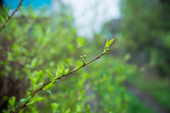 Branches of cherry bush with new leaves. Selective focus Stock Photos