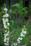 Branches of cherry bush with new leaves. Selective focus Royalty Free Stock Photos