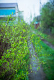 Branches of cherry bush with new leaves. Selective focus Royalty Free Stock Images
