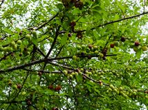 Branches of cherry plum together with green fruit that have not yet ripened royalty free stock photos