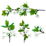 Branches of cherry-tree Royalty Free Stock Photography