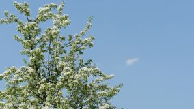 Cherry tree covered of white flowers. Branches of cherry tree covered with lots of white flowers stock video footage