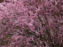 Cherry tree pink blossom spring season stock image
