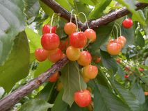 Branches of cherry tree with ripe orange berries fruits. Branches of cherry tree with ripe orange sweet berries fruits, close up stock image