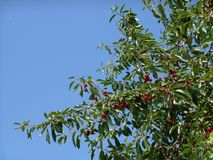 Branches of cherry tree with ripe red berries fruits, blue sky in background. Sunny day royalty free stock photos