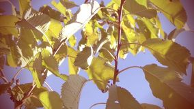 Branches of Cherry Tree on Wind stock video footage