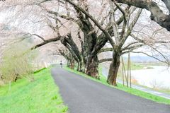Branches of cherry trees bearing the pink blossoms and arching over the sidewalk along Shiroishi river banks like a tunnel of saku Stock Image