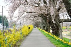 Branches of cherry trees bearing the pink blossoms and arching over the sidewalk along Shiroishi river banks like a tunnel of saku. Shiroishigawa riverShiroishi Royalty Free Stock Images