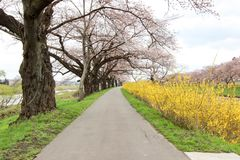 Branches of cherry trees bearing the pink blossoms and arching over the sidewalk along Shiroishi river banks like a tunnel of saku. Shiroishigawa riverShiroishi Stock Photos