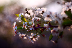 Branches of cherry, white flowers, spring Stock Photo